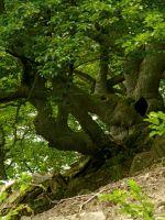 08_Urige_Buche_im_Nationalpark_Kellerwald_Edersee