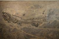 G11_Süßwasser-Hai_Xenacanthus_in_der_großen_Platte_GS