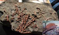 G23_Gut_erhaltene_Knochen_eines_Edaphosauriers_eines_Reptils_GS
